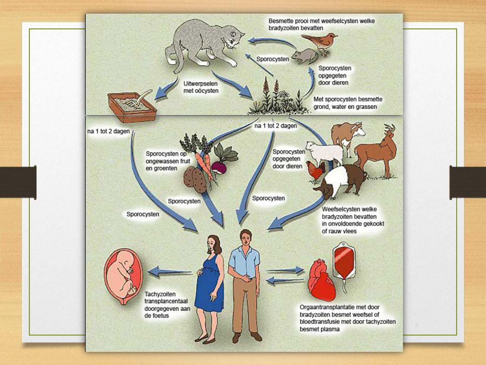 Toxoplasmose is een infectie ziekte die door een eencellige parasiet wordt veroorzaakt (Toxoplasma gondii).