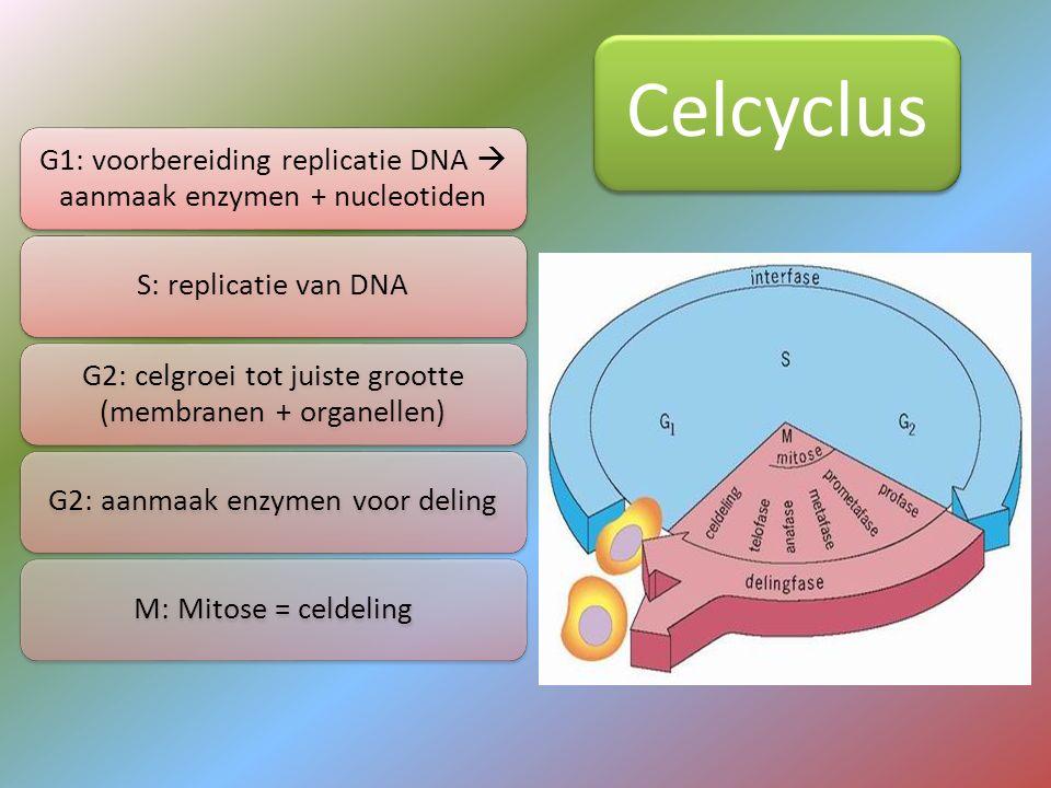 G1: voorbereiding replicatie DNA  aanmaak enzymen + nucleotiden