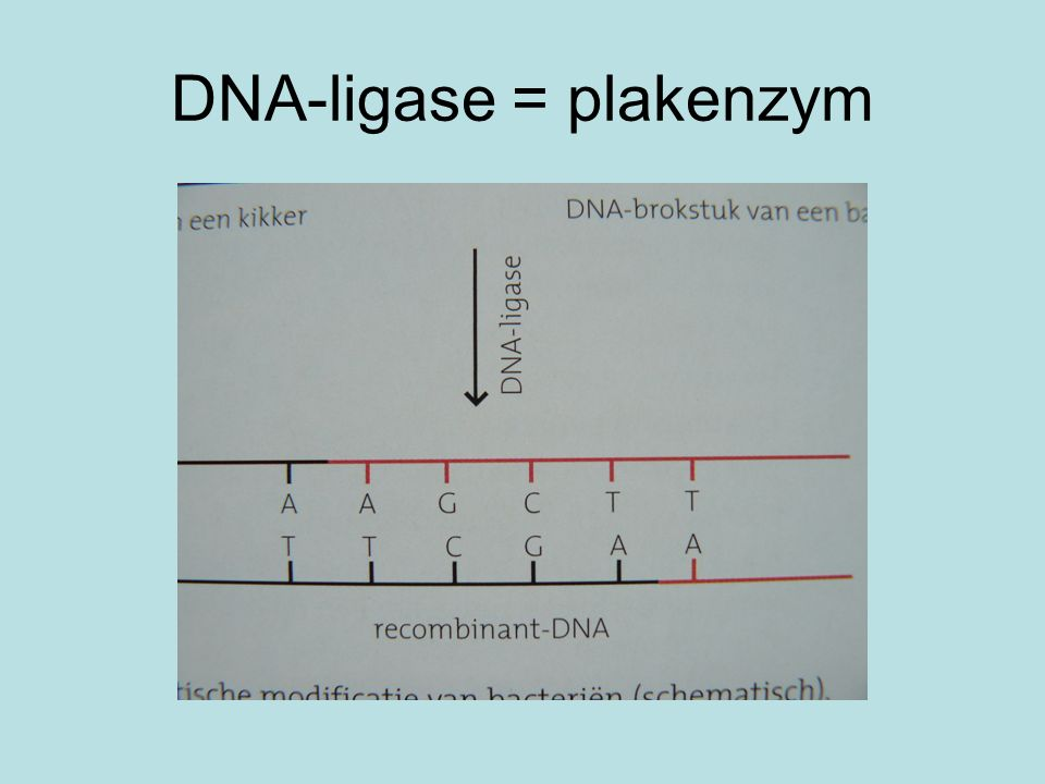 DNA-ligase = plakenzym