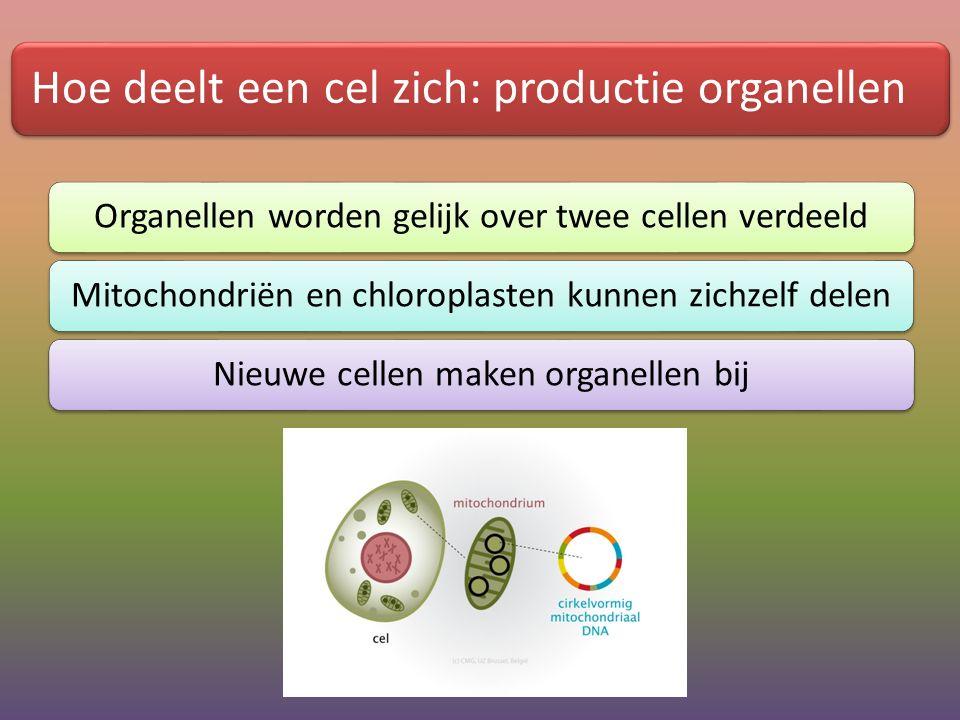 Hoe deelt een cel zich: productie organellen