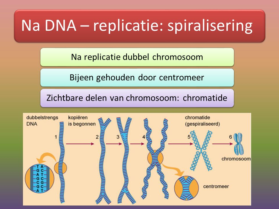Na DNA – replicatie: spiralisering