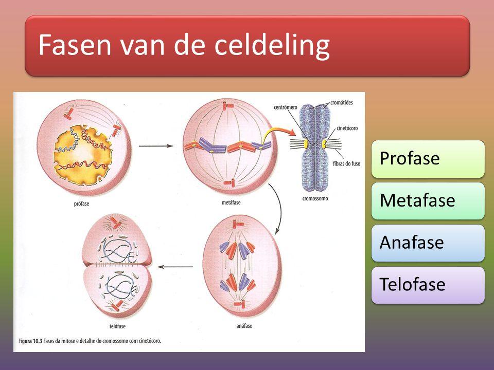 Fasen van de celdeling Profase Metafase Anafase Telofase