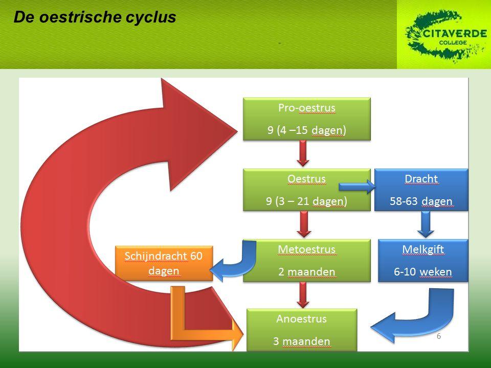 De oestrische cyclus