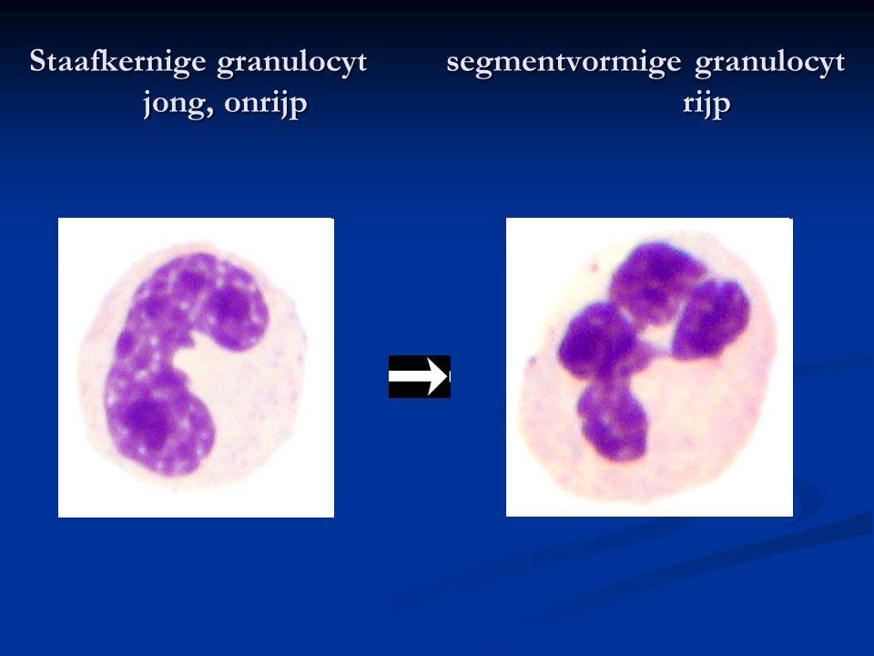 Staafkernige granulocyt segmentvormige granulocyt jong, onrijp rijp