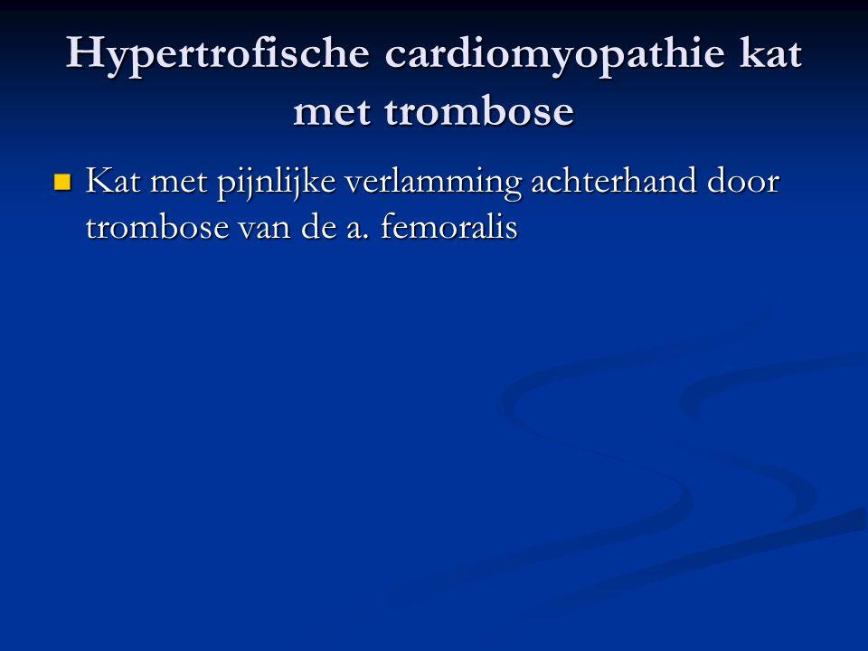 Hypertrofische cardiomyopathie kat met trombose
