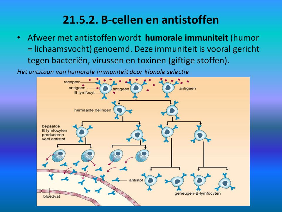 21.5.2. B-cellen en antistoffen