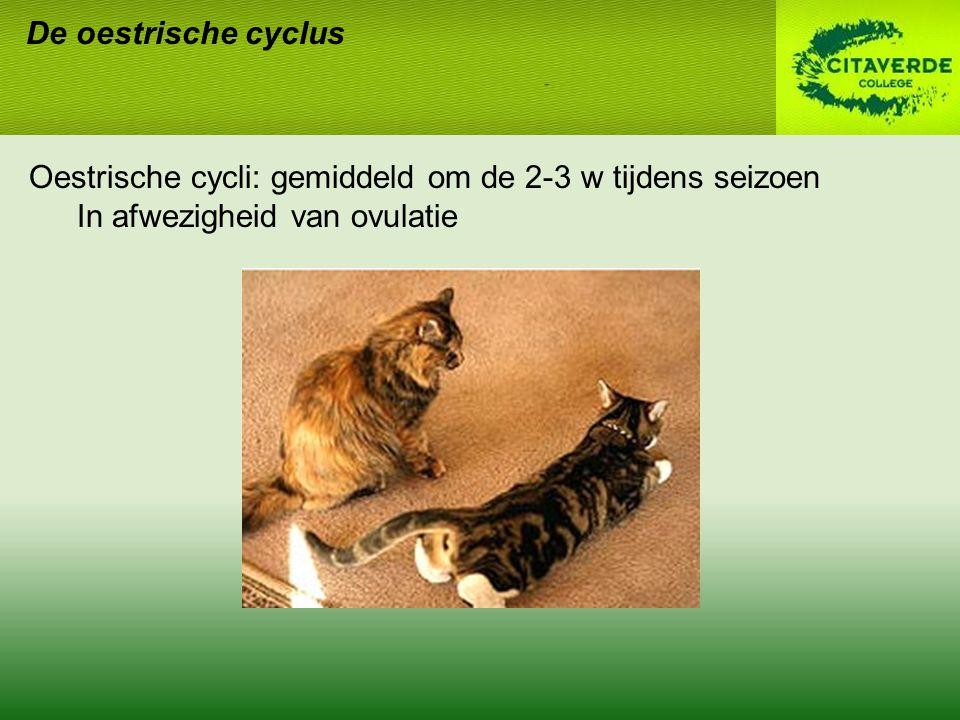 De oestrische cyclus Oestrische cycli: gemiddeld om de 2-3 w tijdens seizoen.