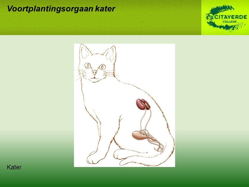 Voortplantingsorgaan kater