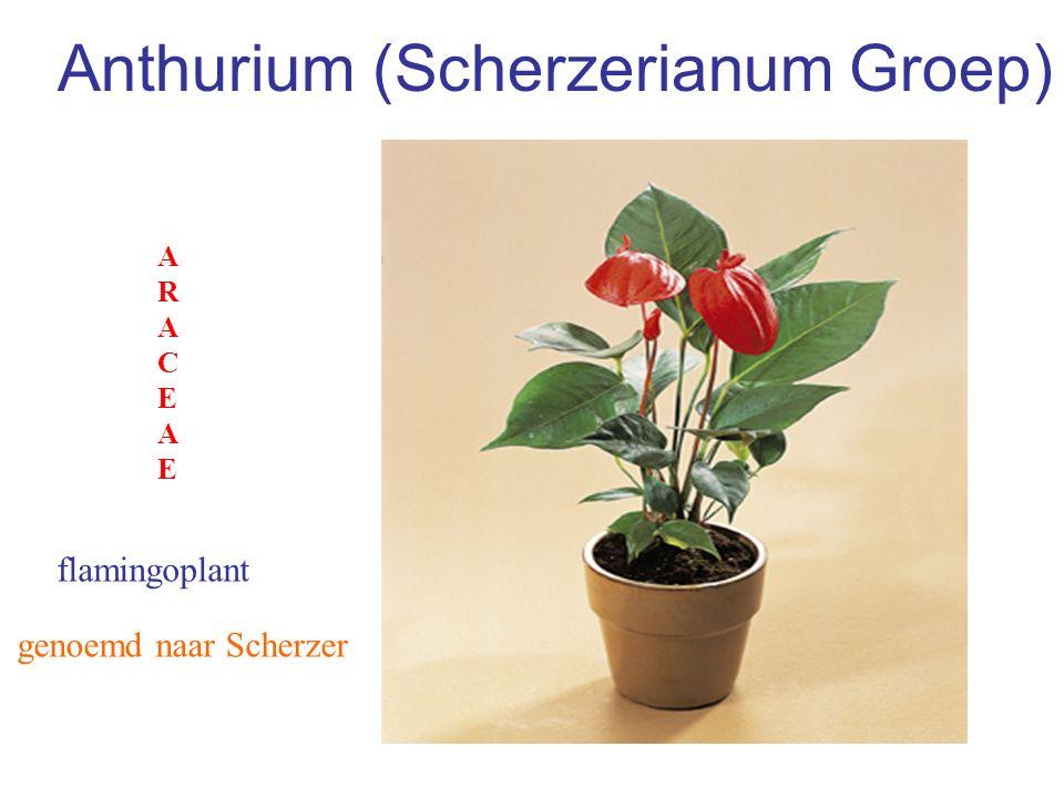 Anthurium (Scherzerianum Groep)