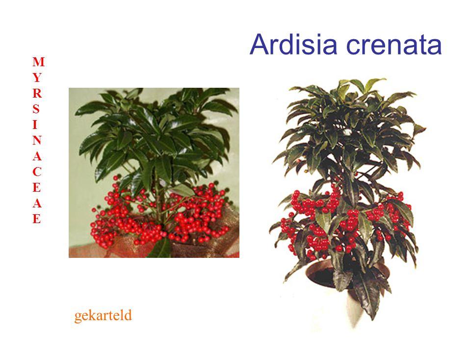 Ardisia crenata MYRSINACEAE gekarteld