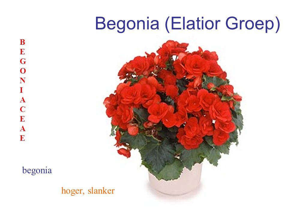 Begonia (Elatior Groep)