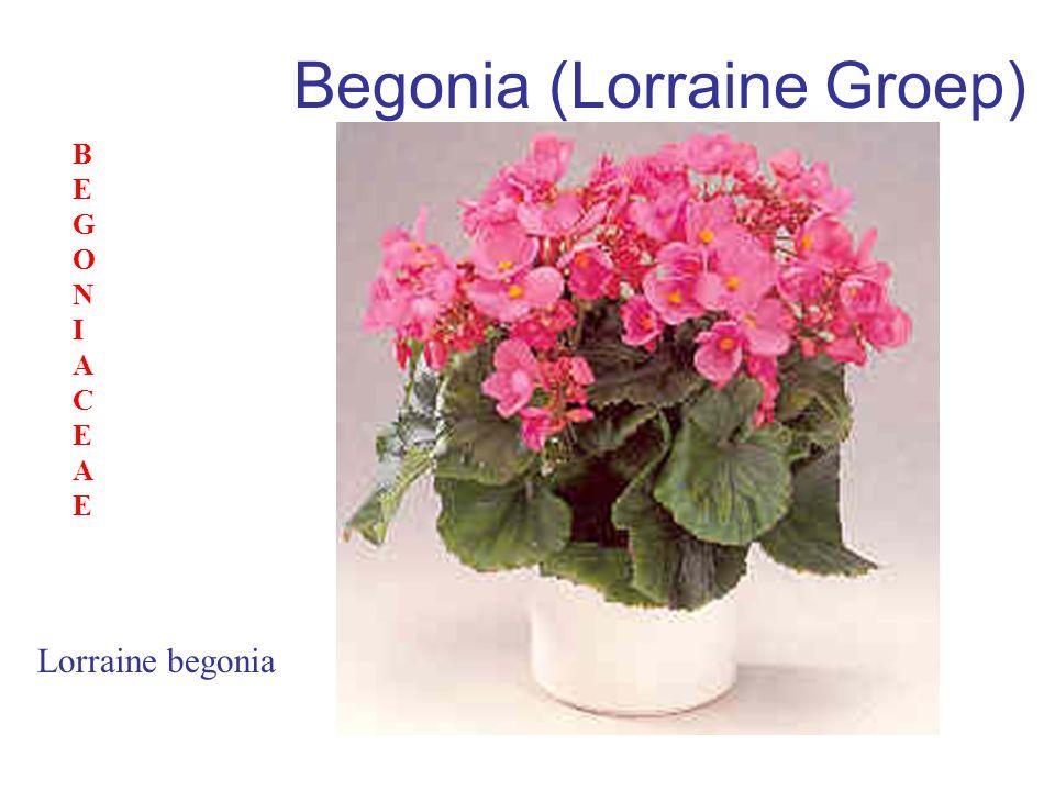 Begonia (Lorraine Groep)