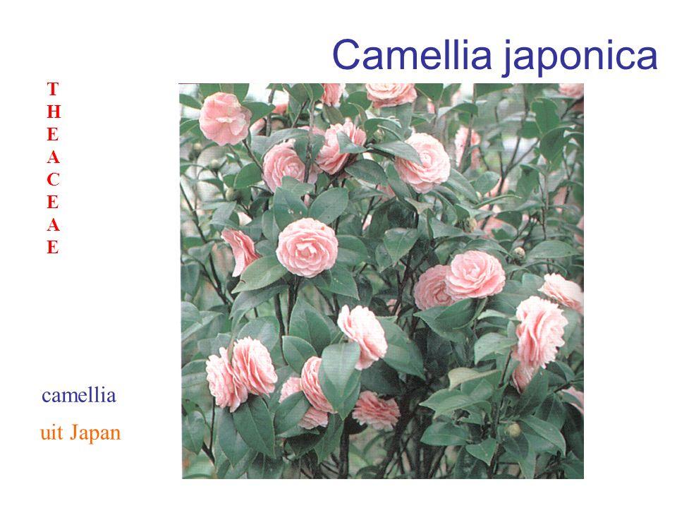 Camellia japonica THEACEAE camellia uit Japan