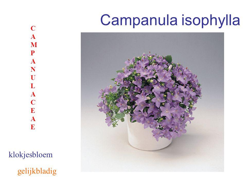 Campanula isophylla CAMPANULACEAE klokjesbloem gelijkbladig