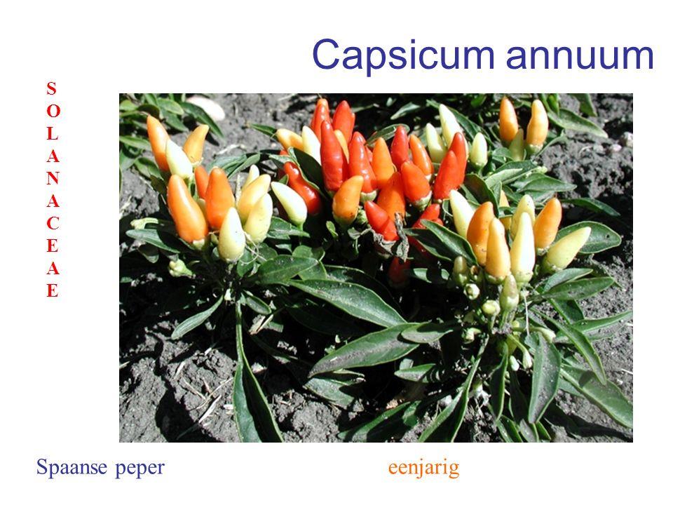 Capsicum annuum SOLANACEAE Spaanse peper eenjarig