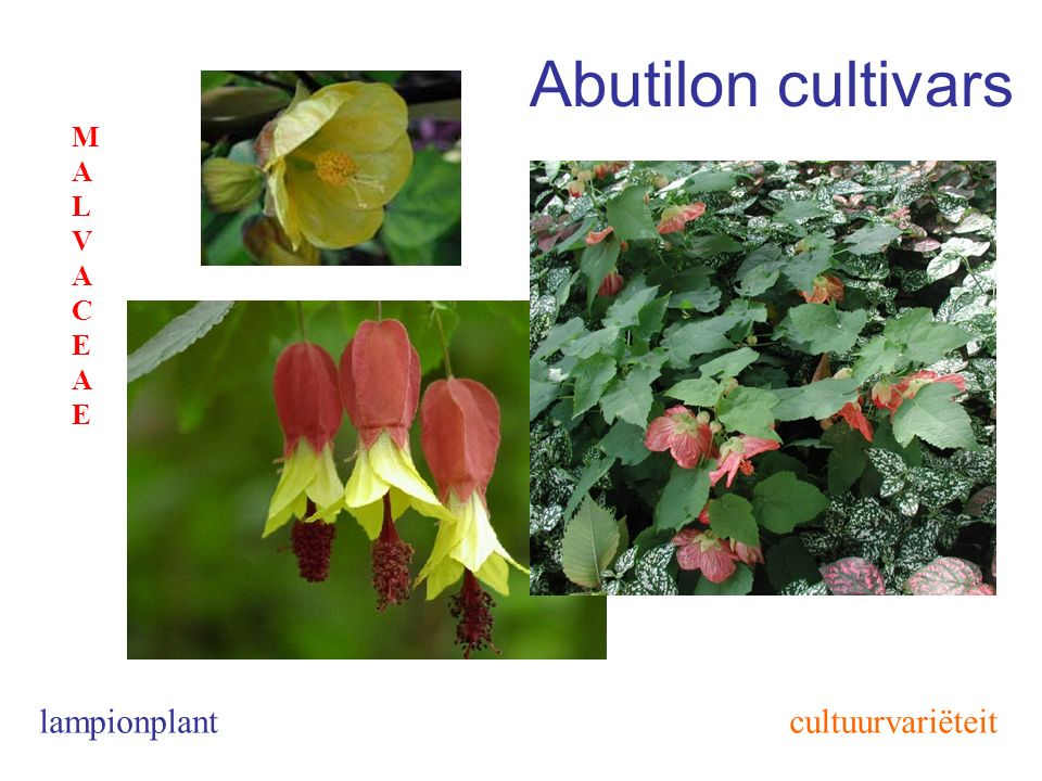Abutilon cultivars MALVACEAE lampionplant cultuurvariëteit