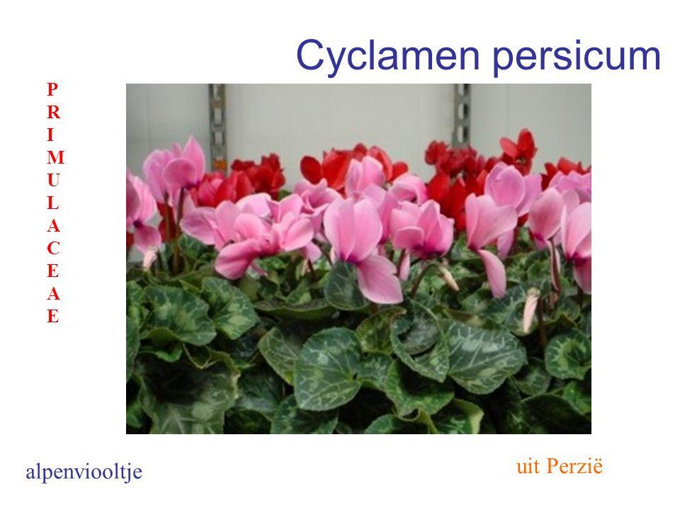 Cyclamen persicum PRIMULACEAE uit Perzië alpenviooltje