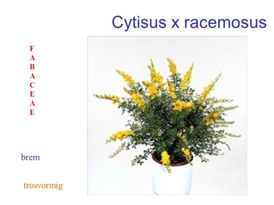Cytisus x racemosus FABACEAE brem trosvormig