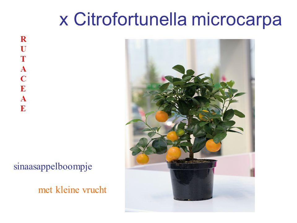 x Citrofortunella microcarpa