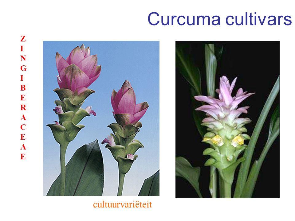 Curcuma cultivars ZINGIBERACEAE cultuurvariëteit