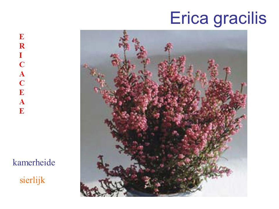 Erica gracilis ERICACEAE kamerheide sierlijk