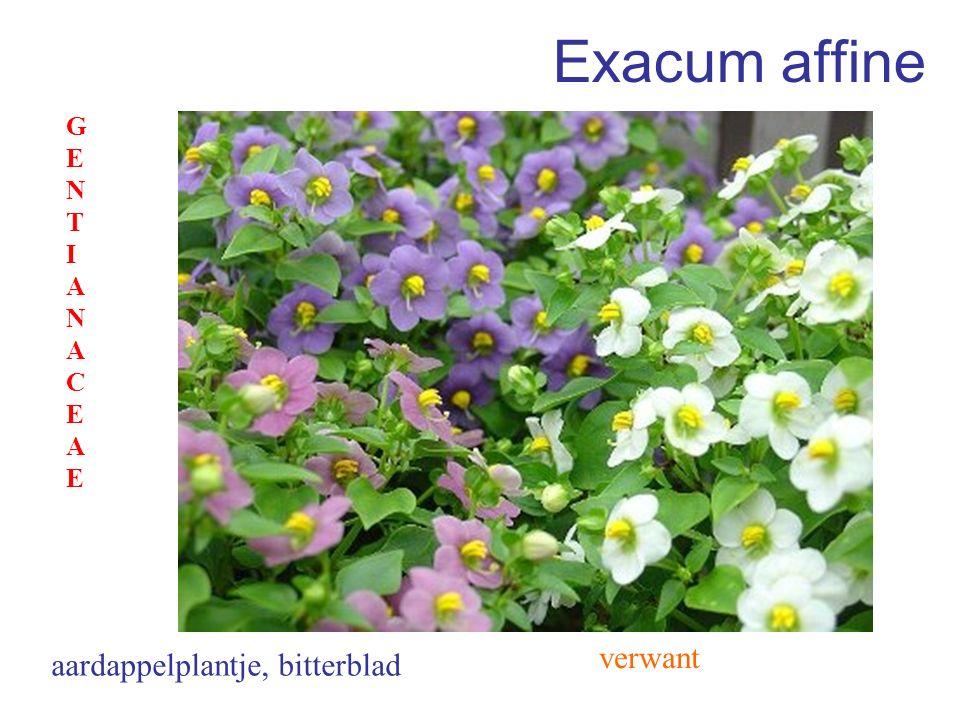 Exacum affine GENTIANACEAE verwant aardappelplantje, bitterblad