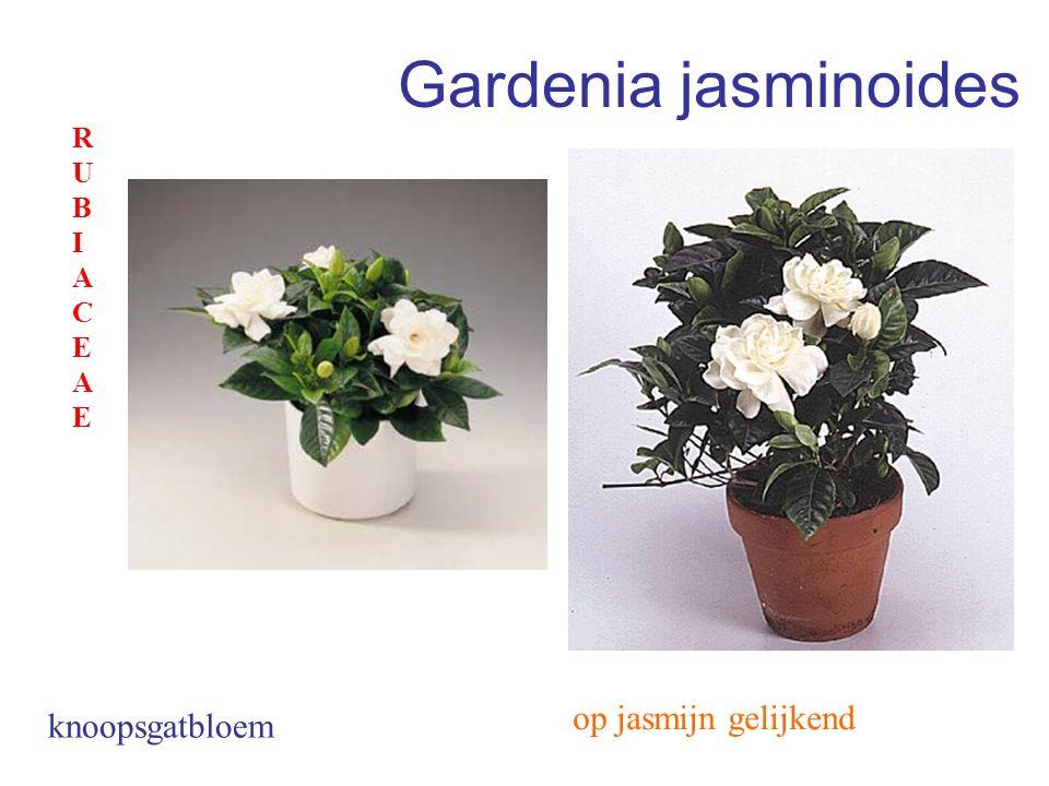 Gardenia jasminoides RUBIACEAE op jasmijn gelijkend knoopsgatbloem