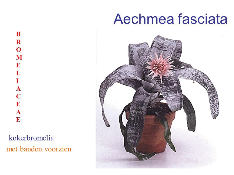 Aechmea fasciata BROMELIACEAE kokerbromelia met banden voorzien