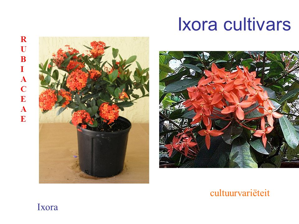 Ixora cultivars RUBIACEAE cultuurvariëteit Ixora