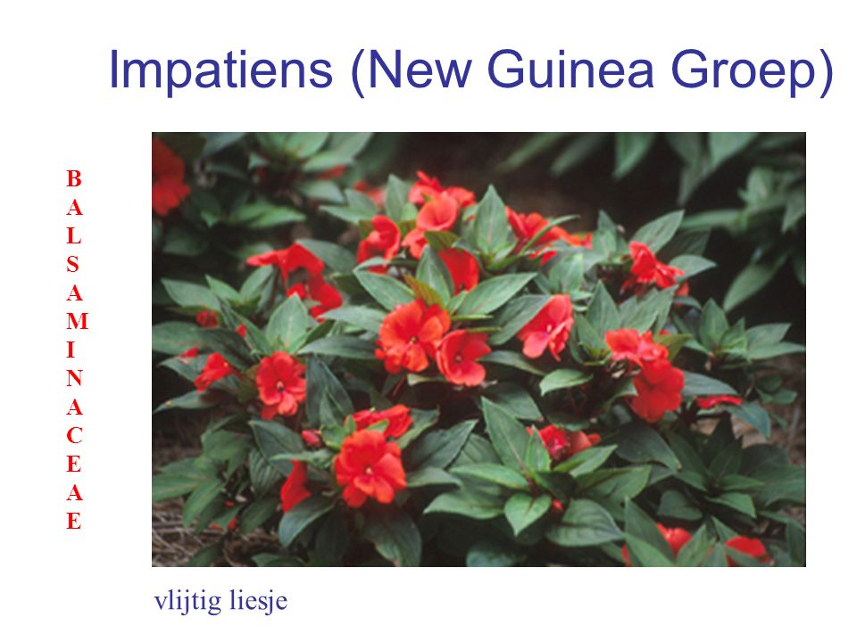 Impatiens (New Guinea Groep)