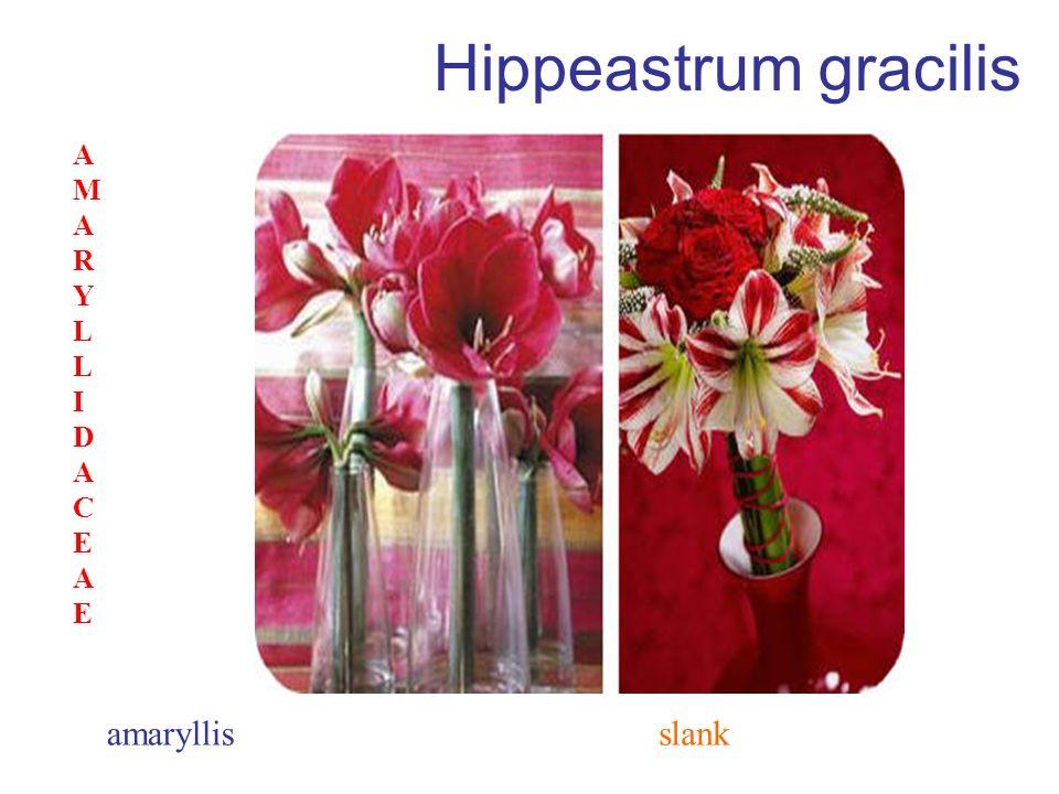 Hippeastrum gracilis AMARYLLIDACEAE amaryllis slank