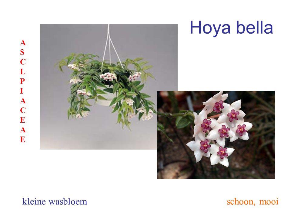 Hoya bella ASCLPIACEAE kleine wasbloem schoon, mooi
