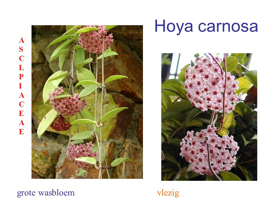 Hoya carnosa ASCLPIACEAE grote wasbloem vlezig