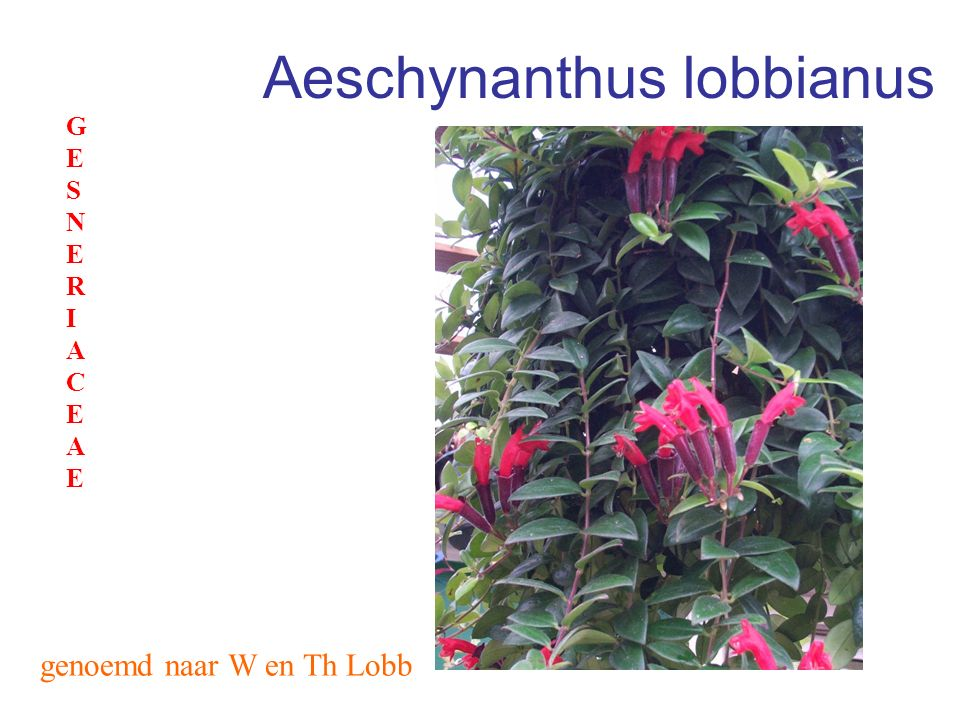 Aeschynanthus lobbianus
