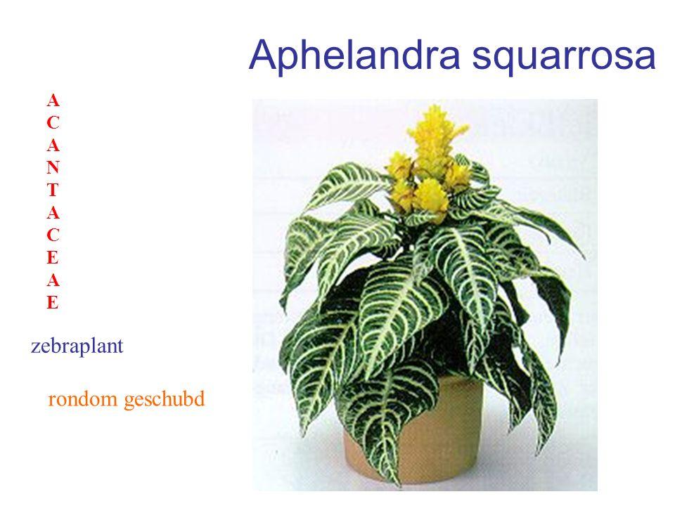 Aphelandra squarrosa ACANTACEAE zebraplant rondom geschubd