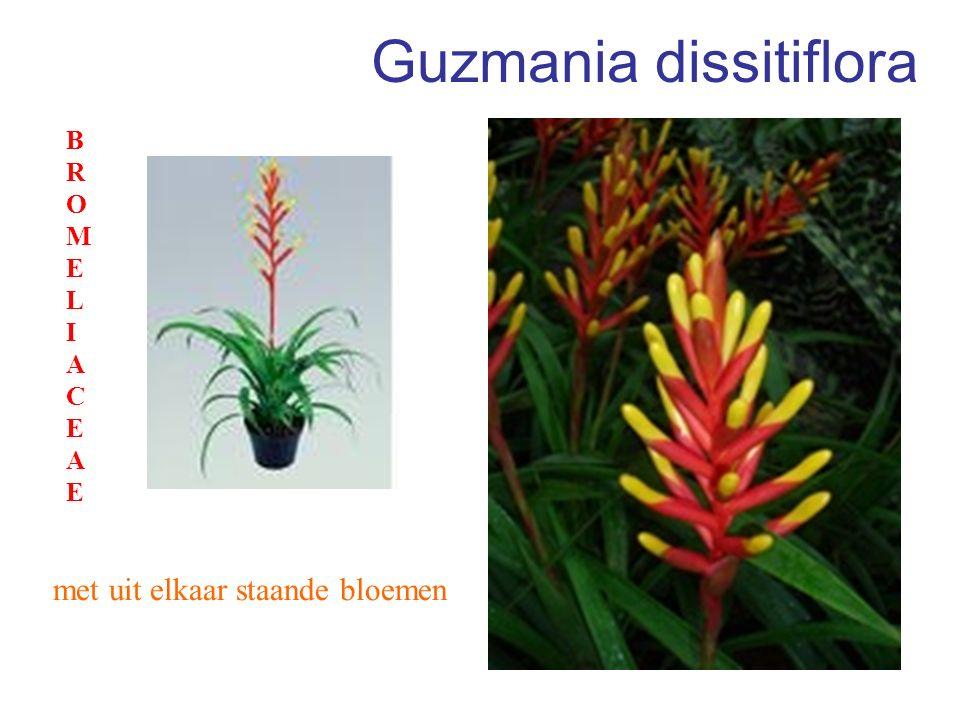 Guzmania dissitiflora