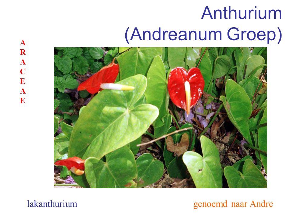 Anthurium (Andreanum Groep)