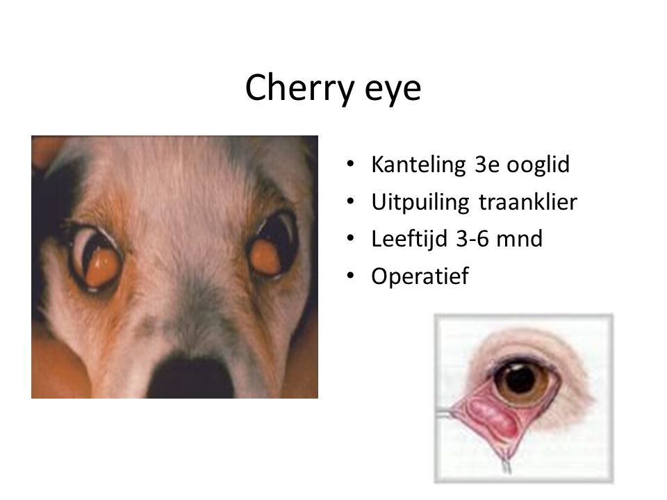 Cherry eye Kanteling 3e ooglid Uitpuiling traanklier Leeftijd 3-6 mnd