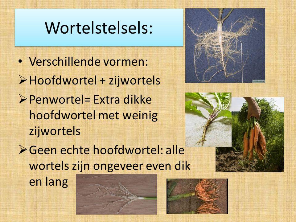 Wortelstelsels: Verschillende vormen: Hoofdwortel + zijwortels