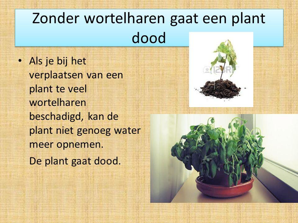 Zonder wortelharen gaat een plant dood