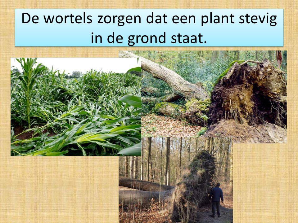 De wortels zorgen dat een plant stevig in de grond staat.