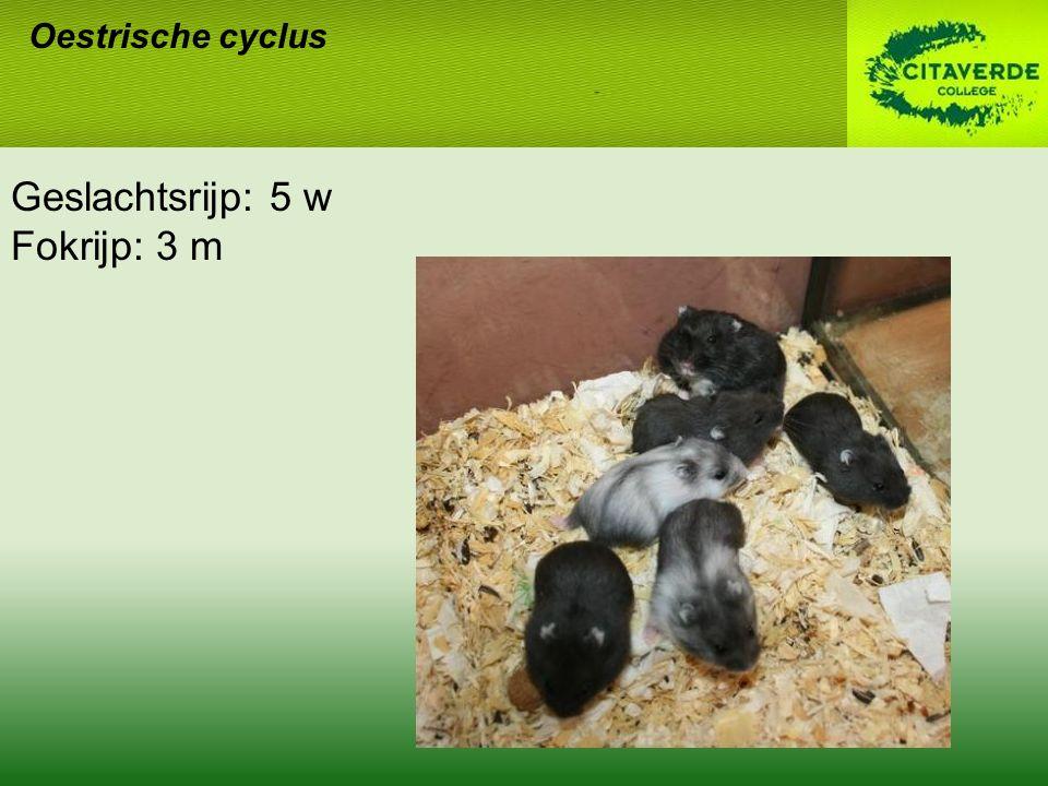 Oestrische cyclus Geslachtsrijp: 5 w Fokrijp: 3 m