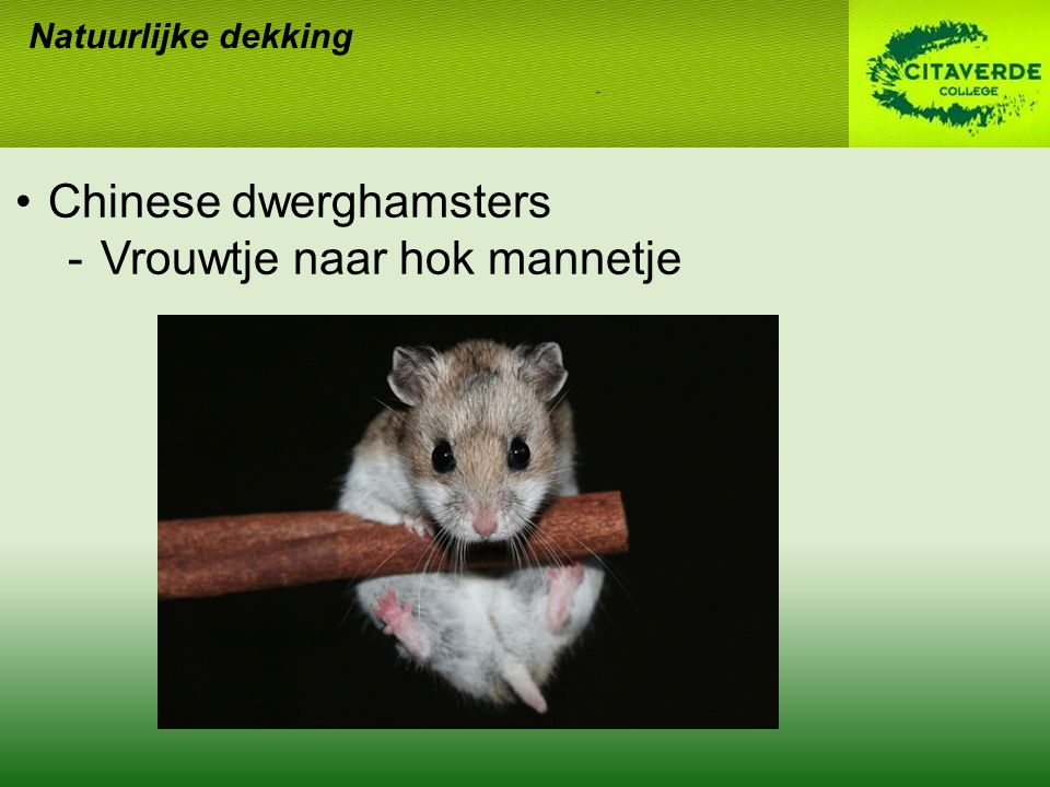 Chinese dwerghamsters Vrouwtje naar hok mannetje
