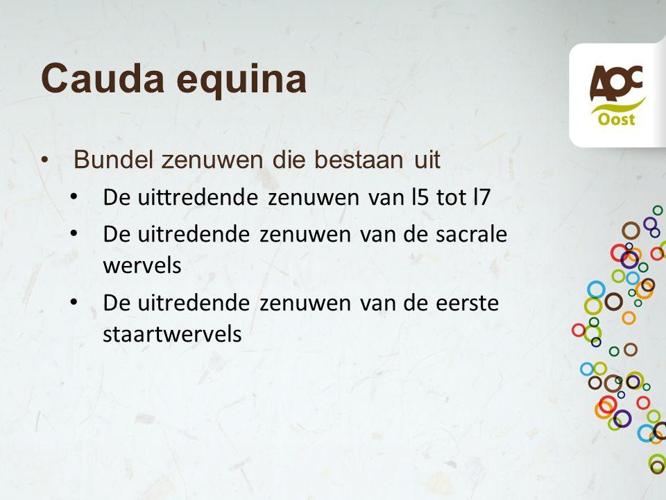 Cauda equina Bundel zenuwen die bestaan uit