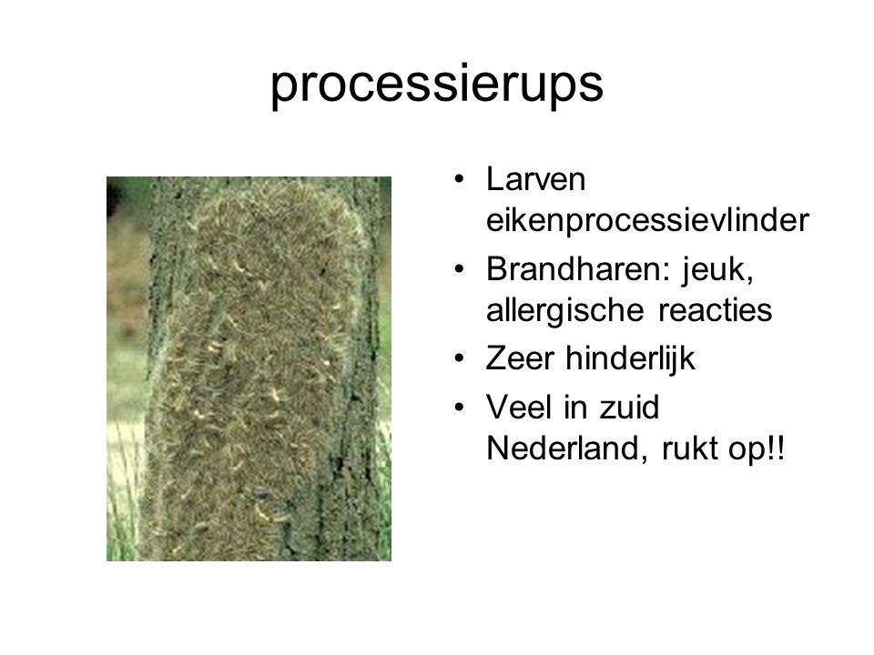 processierups Larven eikenprocessievlinder