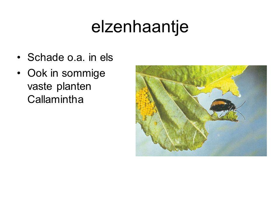 elzenhaantje Schade o.a. in els