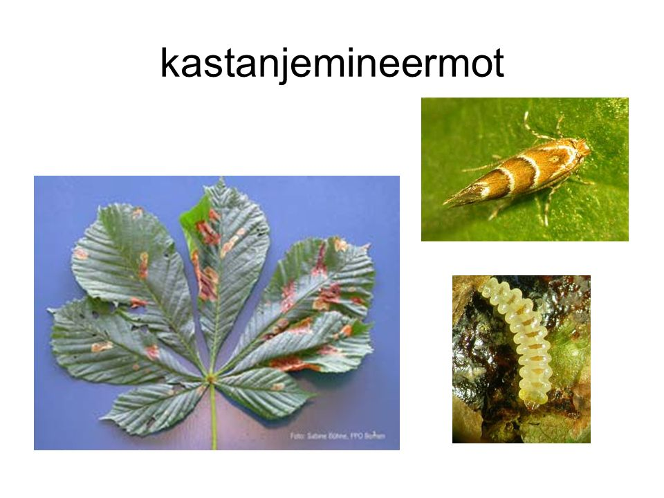 kastanjemineermot