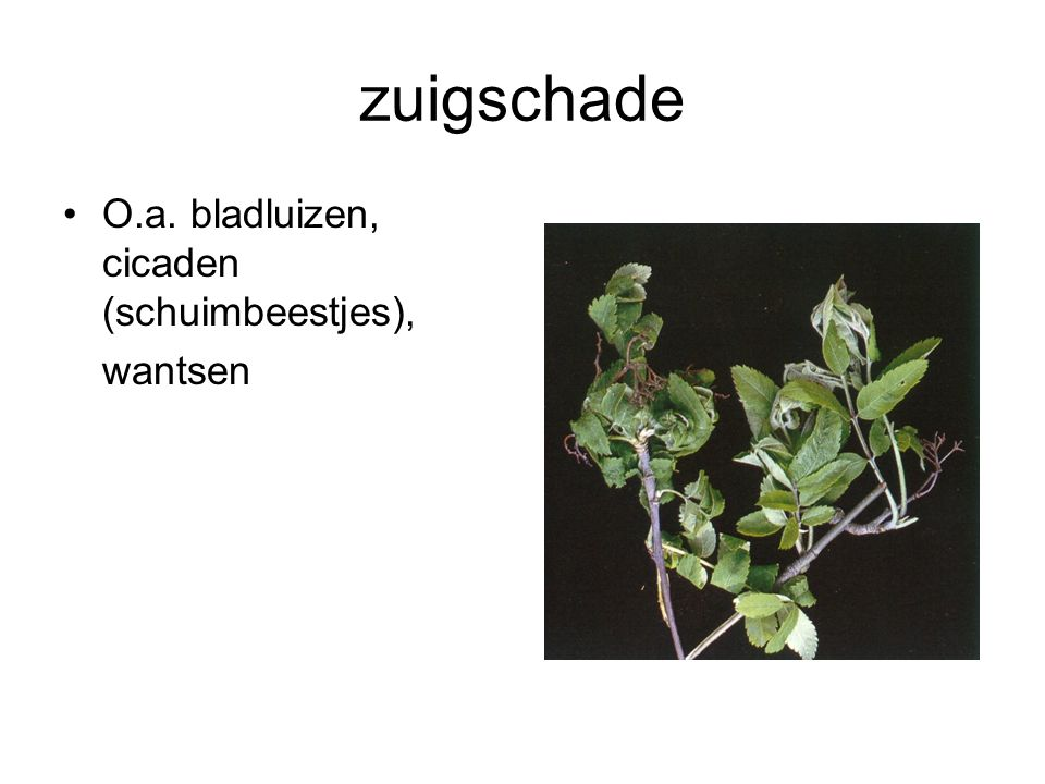zuigschade O.a. bladluizen, cicaden (schuimbeestjes), wantsen