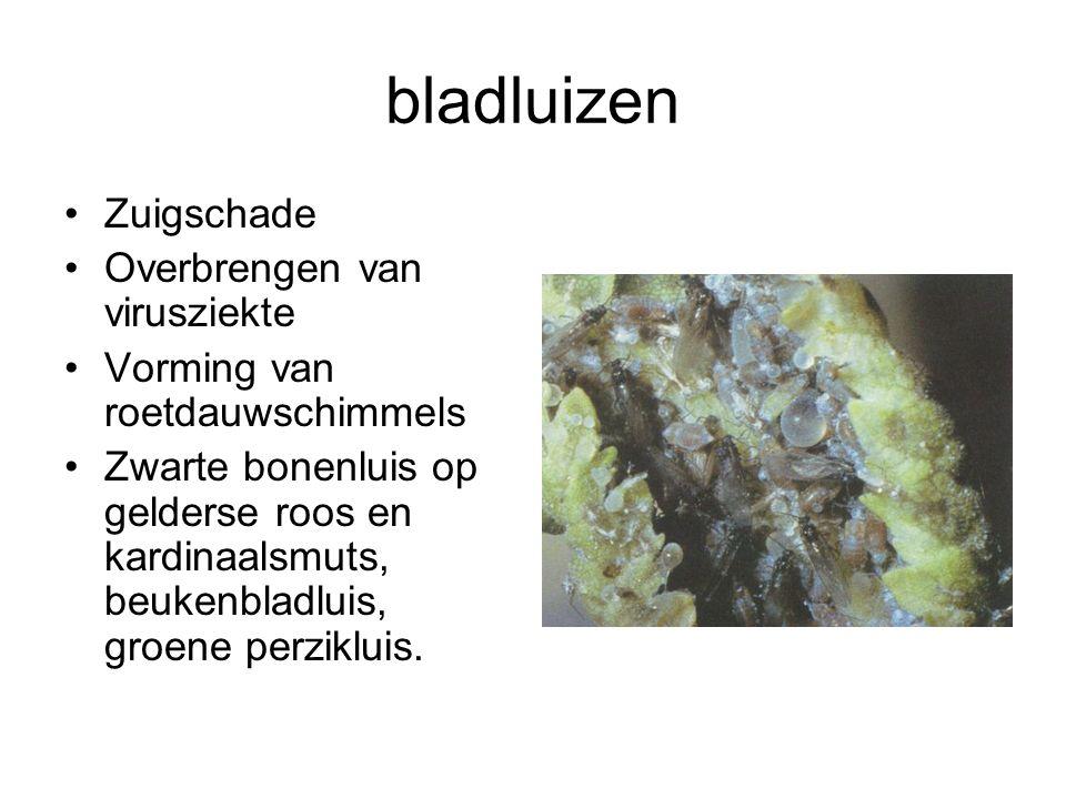 bladluizen Zuigschade Overbrengen van virusziekte