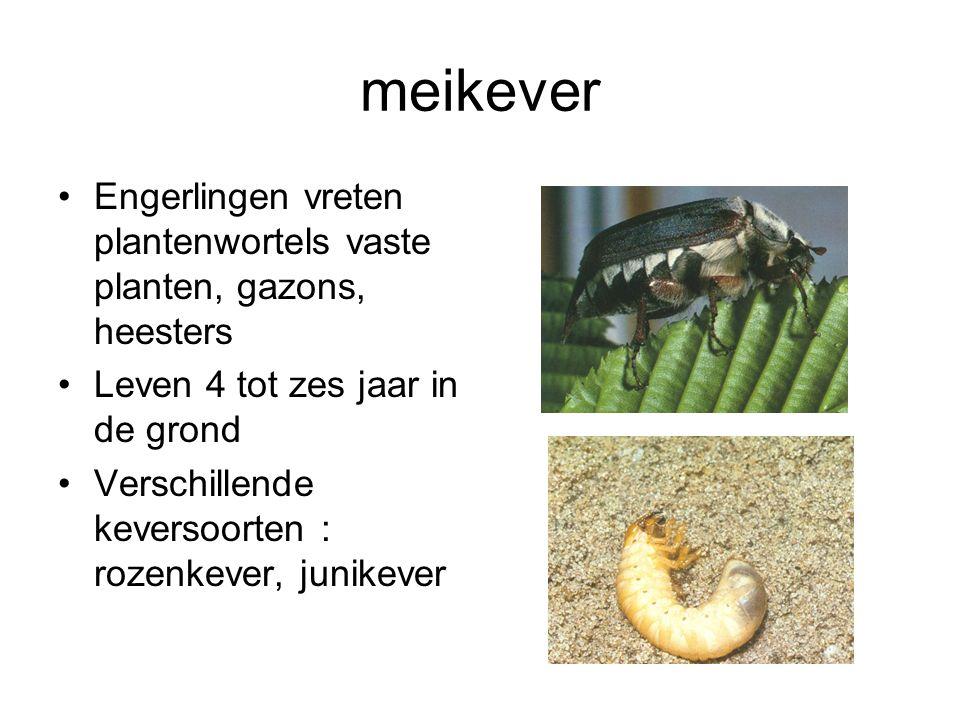 meikever Engerlingen vreten plantenwortels vaste planten, gazons, heesters. Leven 4 tot zes jaar in de grond.